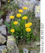 Tufted leopardsbane (Doronicum clusii) amongst rocks. Dolomites, Italy. July. Стоковое фото, фотограф Paul  Harcourt Davies / Nature Picture Library / Фотобанк Лори