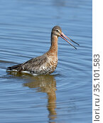 Black-tailed godwit (Limosa limosa) foraging in water, Le Teich,Gironde, France, March. Стоковое фото, фотограф Loic Poidevin / Nature Picture Library / Фотобанк Лори
