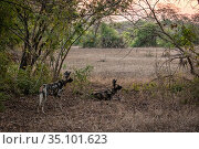 African wild dogs (Lycaon pictus) fitted with tracking collar, Gorongosa... Стоковое фото, фотограф Jen Guyton / Nature Picture Library / Фотобанк Лори