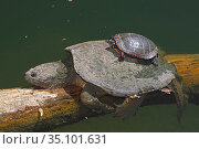 Snapping turtle (Chelydra serpentina) and painted turtle (Chrysemys picta) basking, Maryland, USA. May. Стоковое фото, фотограф John Cancalosi / Nature Picture Library / Фотобанк Лори