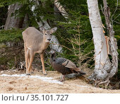 White-tailed Deer (Odocoileus virginianus) and Wild Turkey (Meleagris gallopavo). Acadia National Park, Maine, USA. Стоковое фото, фотограф George Sanker / Nature Picture Library / Фотобанк Лори