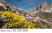 Vitaliana (Androsace vitaliana) in mountains of Sella region. Above Campitello di Fassa, Dolomites, Italy. June 2019. Стоковое фото, фотограф Paul  Harcourt Davies / Nature Picture Library / Фотобанк Лори