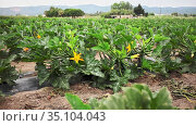 Zucchini plants carefully growing in the garden. Стоковое видео, видеограф Яков Филимонов / Фотобанк Лори