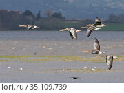 Greylag goose (Anser anser) group flying over flooded salt marshes bordering the River Severn at high tide, Gloucestershire, UK, February. Стоковое фото, фотограф Nick Upton / Nature Picture Library / Фотобанк Лори