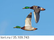 Two Mallard drakes (Anas platyrhynchos) in fight overhead against a blue sky, Gloucestershire, UK, February. Стоковое фото, фотограф Nick Upton / Nature Picture Library / Фотобанк Лори
