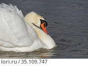 Territorial Mute swan (Cygnus olor) cob swimming with its wing feathers raised in an aggressive display on a marshland pool, Gloucestershire, UK, February. Стоковое фото, фотограф Nick Upton / Nature Picture Library / Фотобанк Лори