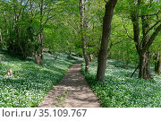 Footpath through woodland carpeted with Wild garlic / Ramsons (Allium ursinum), Wiltshire, UK, April 2020. Стоковое фото, фотограф Nick Upton / Nature Picture Library / Фотобанк Лори