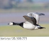 Barnacle goose (Branta leucosis) flying over flooded salt marsh bordering the River Severn estuary at high tide, Gloucestershire, UK, February. Стоковое фото, фотограф Nick Upton / Nature Picture Library / Фотобанк Лори
