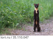 Pine marten (Martes martes) standing on hind legs, Vosges, France. Стоковое фото, фотограф Fabrice Cahez / Nature Picture Library / Фотобанк Лори