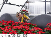 Woman gardener in a greenhouse with red poinsettia carefully examines one of the flower pots. Стоковое фото, фотограф Евгений Харитонов / Фотобанк Лори