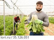 Successful young horticulturist with green chard. Стоковое фото, фотограф Яков Филимонов / Фотобанк Лори