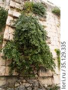 Caper bush (Capparis spinosa) is a thorny shrub present in all Mediterranean... Стоковое фото, фотограф J M Barres / age Fotostock / Фотобанк Лори