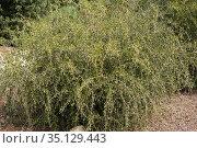 Maytenus senegalensis europaea is a thorny bush endemic to Iberian... Стоковое фото, фотограф J M Barres / age Fotostock / Фотобанк Лори