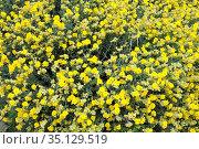 Jarilla cabeza de gato (Helianthemum caput-felis) is a small shrub... Стоковое фото, фотограф J M Barres / age Fotostock / Фотобанк Лори
