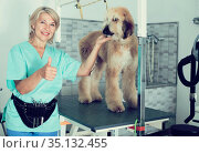 woman hairdresser posing with Afghan puppy Shepherd in beauty salon for animals. Стоковое фото, фотограф Татьяна Яцевич / Фотобанк Лори