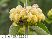 Turkish sage (Phlomis russeliana) with a whorl of yellow hooded flowers being visited by a bumble bee, Berkshire, England, UK, June. Стоковое фото, фотограф Nigel Cattlin / Nature Picture Library / Фотобанк Лори