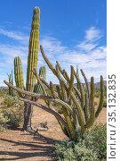 Pitahaya agria (Stenocereus gummosus) and Mexican giant cardon cactus (Pachycereus pringlei) in Sonoran Desert. Near Bahia de Los Angeles, Baja California Sur, Mexico. Стоковое фото, фотограф Jeff Foott / Nature Picture Library / Фотобанк Лори
