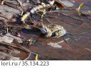 Остромордая лягушка, или болотная лягушка (лат. Rana arvalis), весной сидит в луже с талой водой. Стоковое фото, фотограф Григорий Писоцкий / Фотобанк Лори