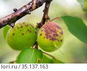 Зеленые плоды абрикоса, пораженные дырчатой пятнистостью. Стоковое фото, фотограф Вячеслав Палес / Фотобанк Лори