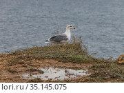 Black sea Seagull sitting on a cliff against the sea. Стоковое фото, фотограф Литвяк Игорь / Фотобанк Лори