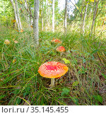 big poisonous red white mushroom in a dense forest on an autumn sunny day. Стоковое фото, фотограф Акиньшин Владимир / Фотобанк Лори