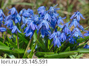 Сцилла двулистная Таурика или пролеска (лат. Scilla difolia L.) цветет в саду. Стоковое фото, фотограф Елена Коромыслова / Фотобанк Лори