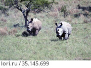 Two rhinos move around the savannah in South Africa (2009 год). Стоковое фото, фотограф Олег Елагин / Фотобанк Лори