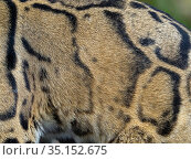 Clouded leopard (Neofelis nebulosa) close up of coat colour and patterns, Captive. Стоковое фото, фотограф Ernie Janes / Nature Picture Library / Фотобанк Лори