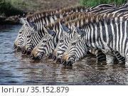 RF - Grant's zebra (Equus quagga boehmi), five drinking in... Стоковое фото, фотограф Nick Garbutt / Nature Picture Library / Фотобанк Лори