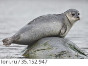 Harbour seal (Phoca vitulina) hauled out on rock, Svalbard, Spitzbergen, Arctic Norway May. Стоковое фото, фотограф Staffan Widstrand / Nature Picture Library / Фотобанк Лори