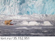 Polar bear (Ursus maritimus) with prey and an Arctic fox, (Alopex lagopus) in front of a massive glacier front, Svalbard, Spitzbergen, Arctic Norway May. Стоковое фото, фотограф Staffan Widstrand / Nature Picture Library / Фотобанк Лори