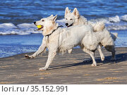 Two Berger Blanc Suisse dogs / White Swiss Shepherds, white form of German Shepherd dog playing fetch with tennis ball on the beach. Стоковое фото, фотограф Philippe Clement / Nature Picture Library / Фотобанк Лори