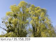 Mistletoe (Viscum album) growing on willow trees, Eure-et-Loir department... Стоковое фото, фотограф Christian Goupi / age Fotostock / Фотобанк Лори