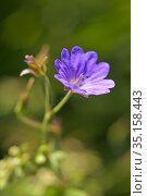Geranium flower, Eure-et-Loir department, Centre-Val-de-Loire region... Стоковое фото, фотограф Christian Goupi / age Fotostock / Фотобанк Лори