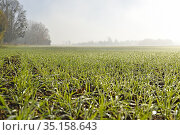 Field sown with winter wheat under a slight drizzle, Eure-et-Loir... Стоковое фото, фотограф Christian Goupi / age Fotostock / Фотобанк Лори