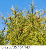 Evergreen branches with cones of Xmas tree in pine forest on background blue sky sunny day. Ready for decoration for Happy New Year, Christmas. Стоковое фото, фотограф А. А. Пирагис / Фотобанк Лори