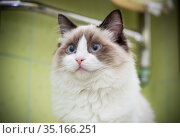 Young beautiful purebred Ragdoll cat at home. Стоковое фото, фотограф Peredniankina / Фотобанк Лори