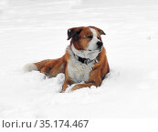 Помесь Akita Inu и Greater Swiss Mountain Dog на снегу. Стоковое фото, фотограф Валерия Попова / Фотобанк Лори