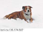 Funny Cross between Akita Inu and Greater Swiss Mountain Dog lies on snow. Стоковое фото, фотограф Валерия Попова / Фотобанк Лори