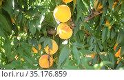 Fresh yellow peaches on tree branch ready for harvesting in garden at summer day. Стоковое видео, видеограф Яков Филимонов / Фотобанк Лори