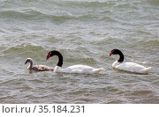 Black necked swan (Cygnus melancoryphus) pair with cygnet on sea. Puerto Natales, Magallanes, Chile. January. Стоковое фото, фотограф Ashley Cooper / Nature Picture Library / Фотобанк Лори
