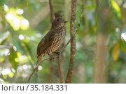 Tooth-billed bowerbird (Scenopoeetes dentirostris) singing whilst perched on branch. Queensland, Australia. Стоковое фото, фотограф Jurgen Freund / Nature Picture Library / Фотобанк Лори