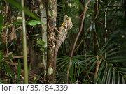 Boyd's forest dragon (Hypsilurus boydii) on tree trunk in rainforest. Queensland, Australia. Стоковое фото, фотограф Jurgen Freund / Nature Picture Library / Фотобанк Лори