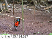 Wilson's bird-of-paradise (Cicinnurus respublica) male displaying in bower staging area. Raja Ampat Islands, West Papua, Indonesia. Стоковое фото, фотограф Jurgen Freund / Nature Picture Library / Фотобанк Лори