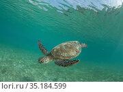 Green sea turtle (Chelonia mydas) feeding on Seagrass bed. Misool... Стоковое фото, фотограф Jurgen Freund / Nature Picture Library / Фотобанк Лори
