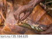 Sago palm weevil (Rhynchophorus sp) grub found during Sago palm (Metroxylon... Стоковое фото, фотограф Jurgen Freund / Nature Picture Library / Фотобанк Лори