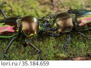 Mueller's stag beetle (Phalacrognathus muelleri) pair appearing... Стоковое фото, фотограф Jurgen Freund / Nature Picture Library / Фотобанк Лори