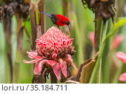 Magnificent sunbird (Aethopyga magnifica) male perched on flower. Bacolod, Negros Occidental, Philippines. Стоковое фото, фотограф Jurgen Freund / Nature Picture Library / Фотобанк Лори