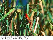Red Bishop, Eucleptes oryx, Ploceidae, male, bird, animal, Addo Elephant... Стоковое фото, фотограф R. Kunz / age Fotostock / Фотобанк Лори