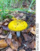 Сыроежка жёлтая (Russula claroflava) Стоковое фото, фотограф Мария Кылосова / Фотобанк Лори